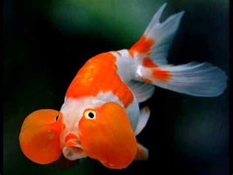 gambar ikan mas koki lucu imut youtube
