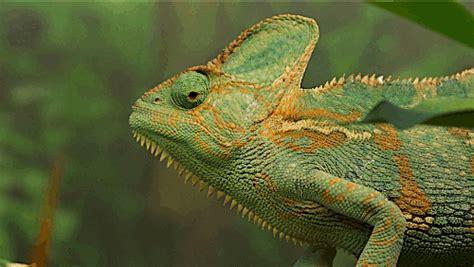 chameleon change color chameleons change color to stand out not blend in