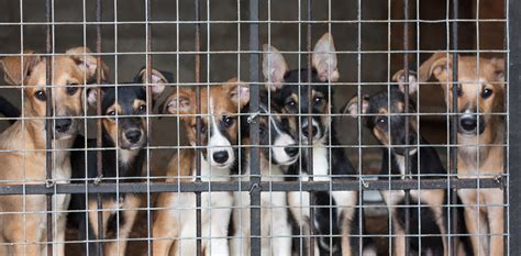 Britain Faces A Migration Issue European Rescue Dogs