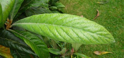 hobbesworld detail sur les arbres eriobotrya japonica