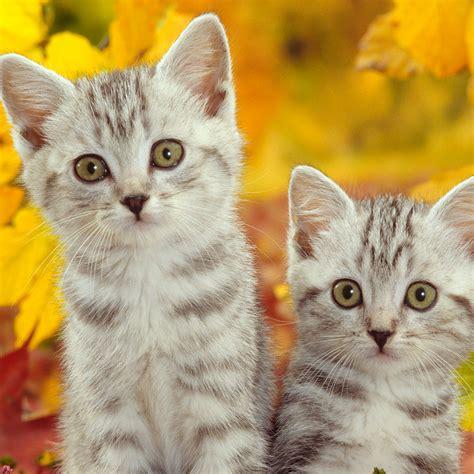 50 Hd Cat Ipad Wallpapers