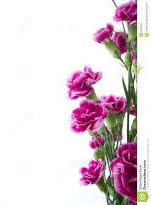 flower bouquet pictures purple carnation flowers white background stock image