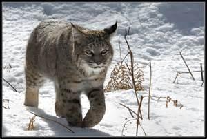 Lynx vs Bobcat Difference