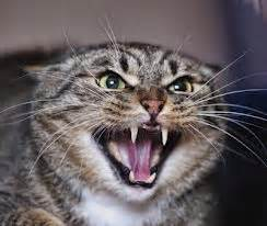 why do cats hiss feline behavioral health why do cats hiss and bite