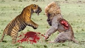 Lion vs Tiger Real Fight 2016 | Lion vs Tiger Best Attack ...