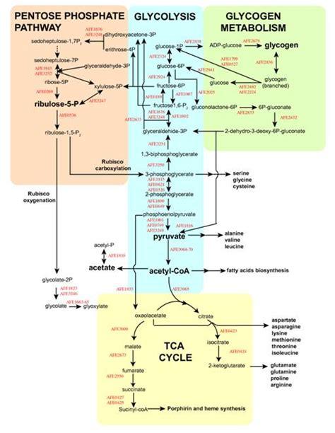 basic principles of metabolism catabolism anabolism