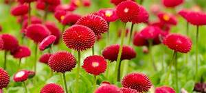 Picture » Vibrant red flowers