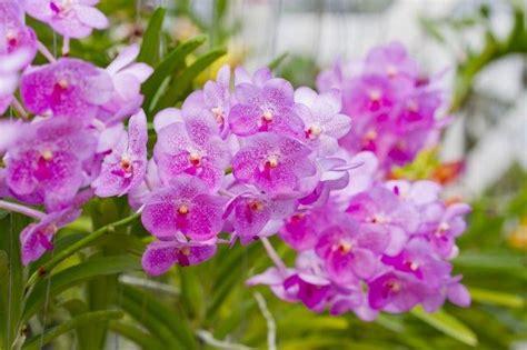 coltivare orchidee in vaso come coltivare le orchidee un p 242 di pollice verde
