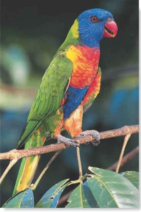 Rainbow Lorikeet (Birds)