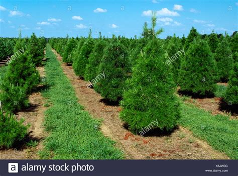 mississippi christmas tree farm tree farms stock photos tree farms stock images alamy