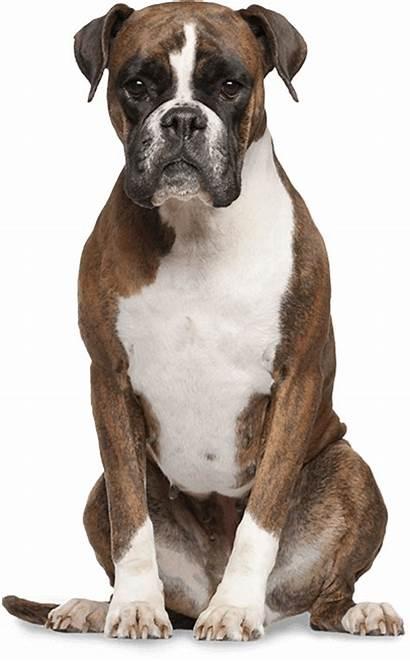 Boxer Dog Funny Bad Animal Emotional Support