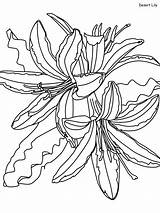 Lily Desert Coloring Pages Mojave Printable Flowers Realistic Categories Plants Habitat sketch template