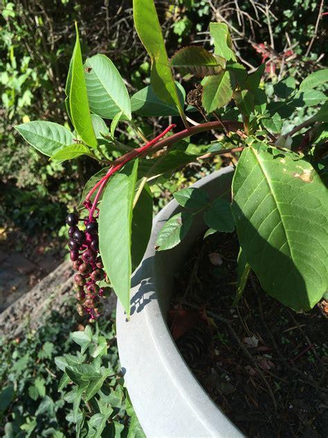 identification    carefree succulent flowering