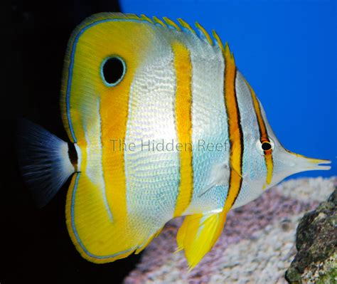 copperband butterflyfish reef fish hidden engineer overlooked gems revealed squirrelfish really