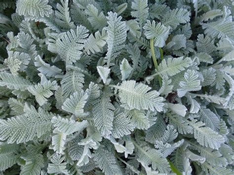 Grey Foliage  Google Search  Pewter Color Plants