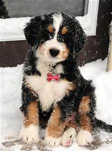 71 best images about Bernedoodle on Pinterest | Poodles ...