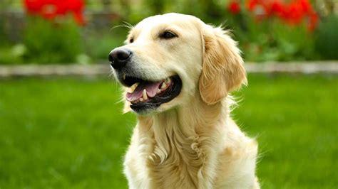 tapis de cuisine casa les 20 races de chiens les plus populaires galeries d