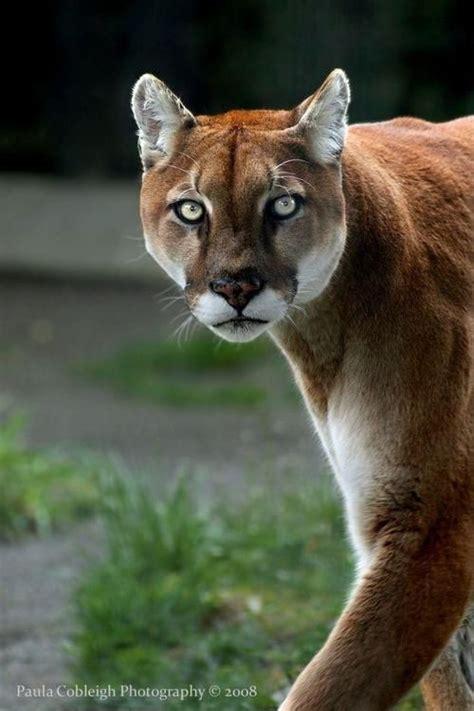 images  lions  tigers  big catsoh