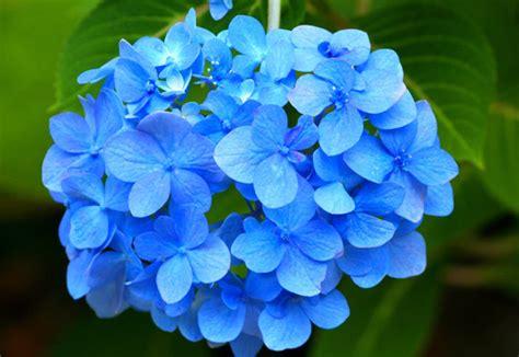 significato dei fiori ortensia piante e fiori da non regalare alla persona amata