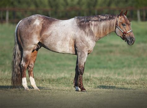 Leading Sire Metallic Cat Sells - Quarter Horse News