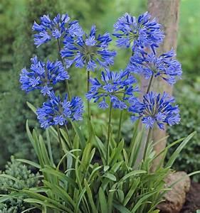Graines D Agapanthe : agapanthe bleue plante en ligne ~ Melissatoandfro.com Idées de Décoration