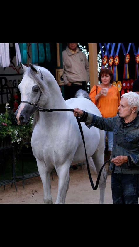 arabian baha beauty camels goats horses aa animals horse