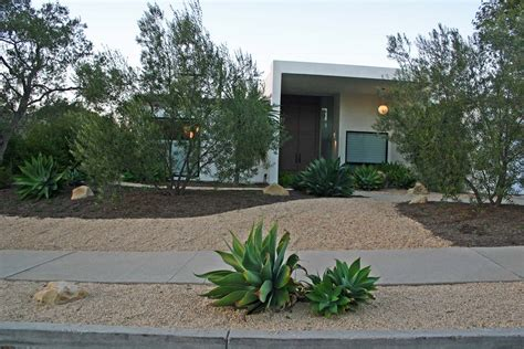 trees for modern landscape olive trees agave attenuata crushed stone mid century modern makeover after curb appeal garden