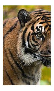 Tiger Look 4K HD Wallpapers   HD Wallpapers   ID #32343