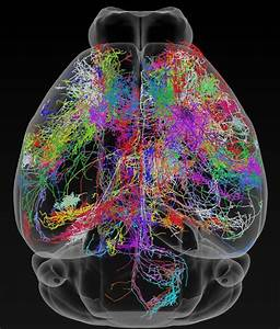 300 Neurons Traced In Extensive Brain Wiring Map