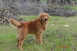 golden retriever puppies for sale fresno ca 290850