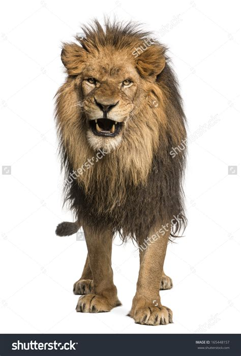 light brown lion clipart clipground
