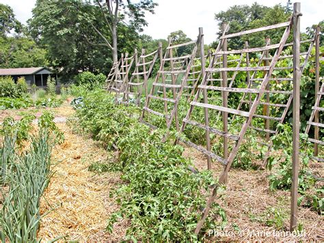 Trellis : A Better Way To Trellis Tomatoes