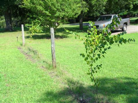 how to build a muscadine trellis nc outdoor ramblings a tasty legacy
