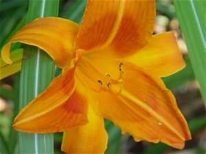 Daylily Rocket City Rocket City Daylilies work well when