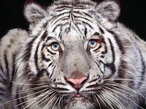 Tigre blanco - 1024x768 :: Fondos de pantalla y wallpapers