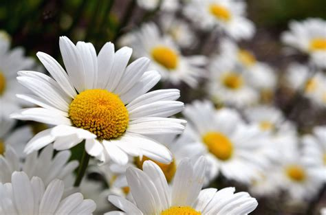 picture daisy flowering petals pollen stamens