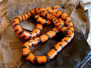 False Coral Snake: All Tricks and No Treats Featured