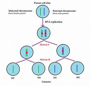 35 Diagram Of Meiosis