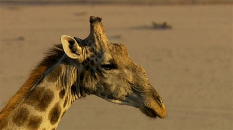 The Most Intense Giraffe Fight You WIll Ever See - YouTube