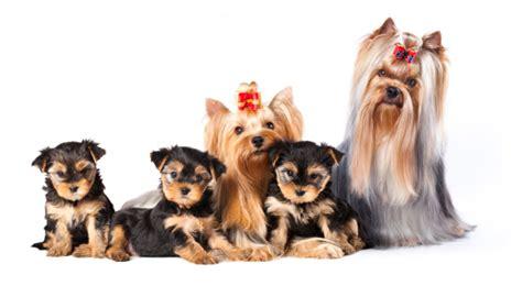 yorkshire terrier hundefutter trockenfutter und nassfutter