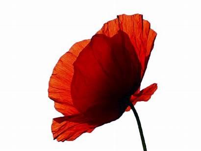 Remembrance Poppy Sunday Clipart Flower Plant Eagle