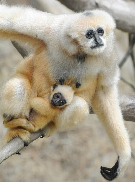 baby white cheeked gibbon    ride zooborns