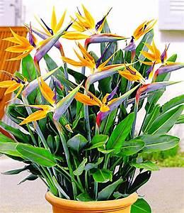 Tropische Pflanzen Kaufen : paradiesvogelblume 1a qualit t online kaufen baldur garten ~ Watch28wear.com Haus und Dekorationen