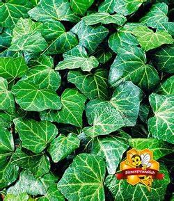 Efeu Pflanzen Kaufen : efeu hedera helix ~ Buech-reservation.com Haus und Dekorationen