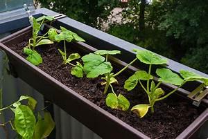 Hokkaido Kürbis Ernten : sommervorbereitung auf dem balkon und karlchens welt ~ Orissabook.com Haus und Dekorationen