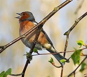 Heimische Singvögel Bilder : bilder singv gel 99 gut bewertete fotos der myheimat b rgerreporter ~ Whattoseeinmadrid.com Haus und Dekorationen