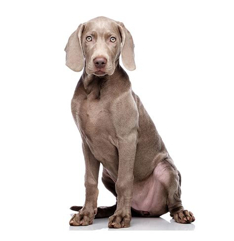 weimaraner breed characteristics puppyspot