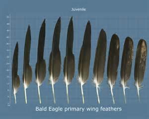 Bald Eagle Feather Identification