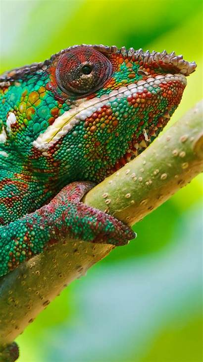 Chameleon Colorful Animals Wallpapers Wallpapershome