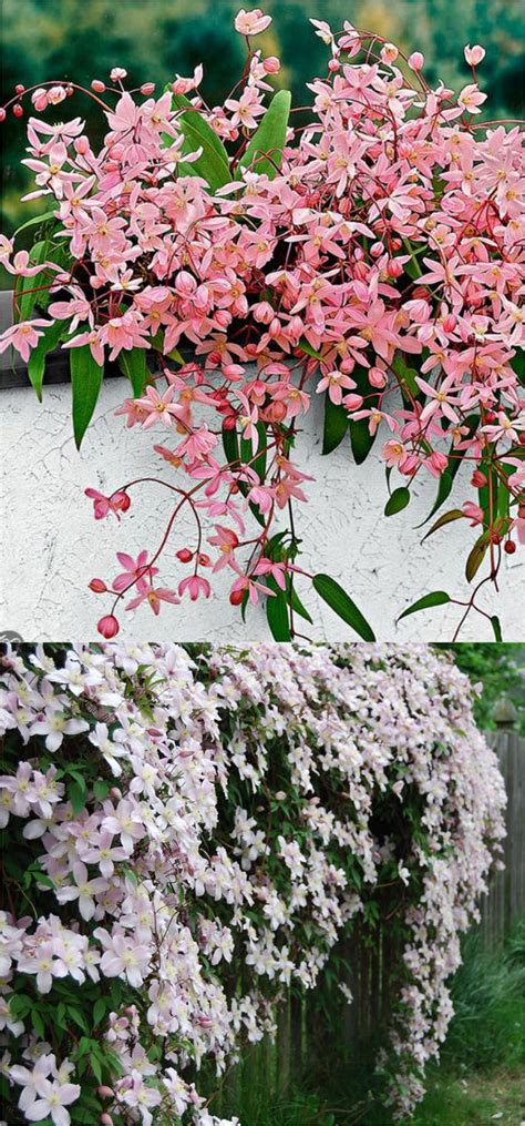 20+ Favorite Flowering Vines And Climbing Plants